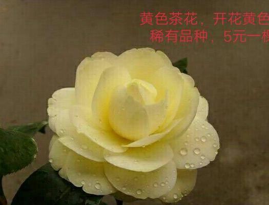 昆明 黃色茶花苗,稀有品種,不包郵