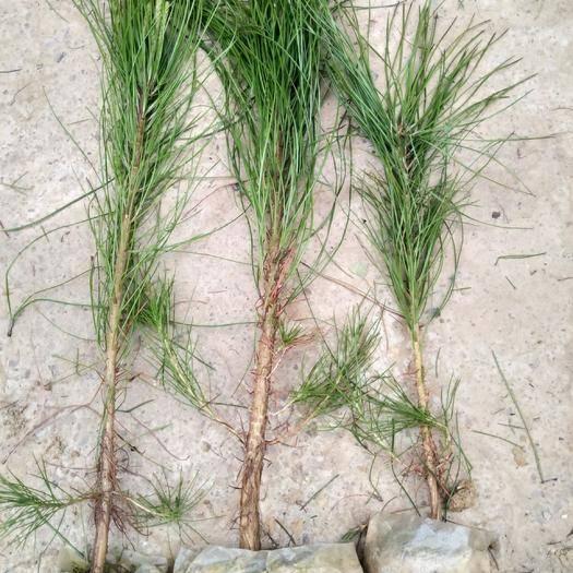 岳西縣大田油松 30厘米高營養袋苗