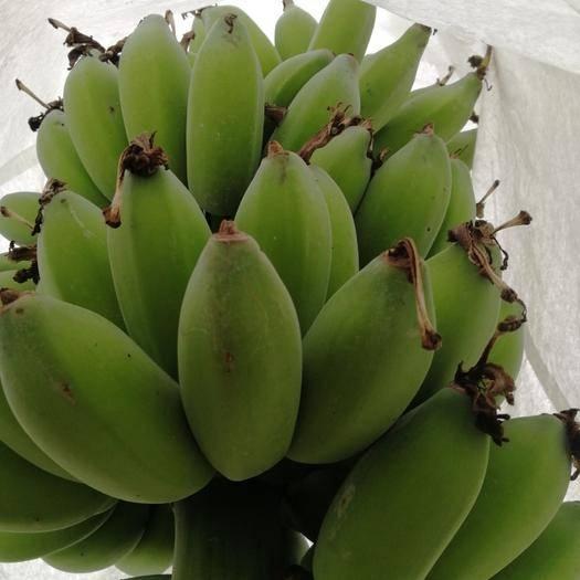中山市苹果蕉 新蕉一代这几天可上市