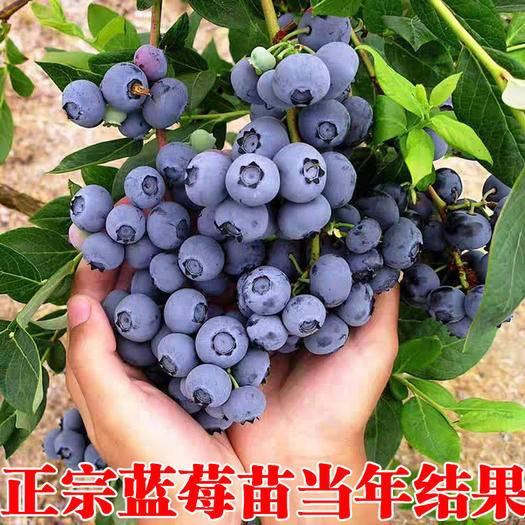 平邑县奥尼尔蓝莓苗 优质蓝莓兔眼奥尼尔北春 红果绿宝石南方北方适种盆栽地栽