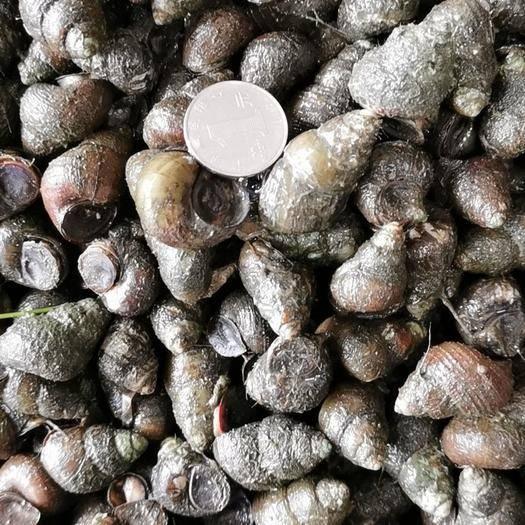 沙洋县 大量石螺长期供应