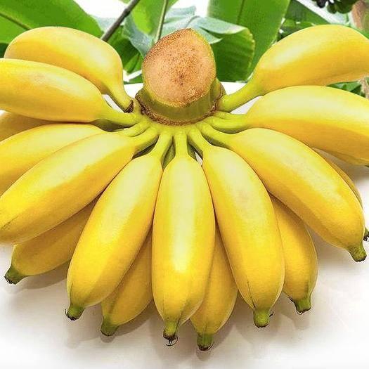 广州 【现摘现发】29元抢5斤贵州小米蕉,需催熟,顺丰包邮