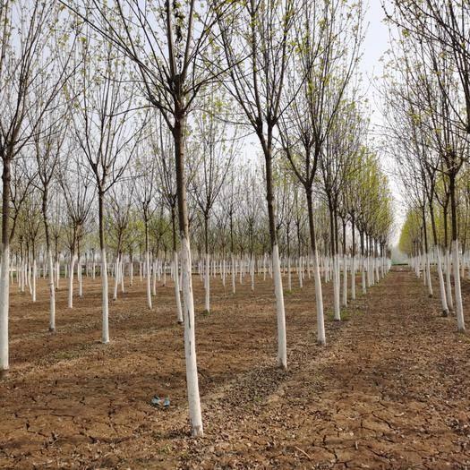 嘉祥縣 10-20公分欒樹,樹型好,成*率高,價格實惠