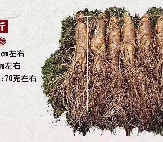 長白朝鮮族自治縣長白山人參 林下參,強身健體,饋贈好友佳品