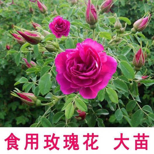 平邑县 可食用玫瑰花苗盆栽大马士革食用玫瑰清香型四季开花不断