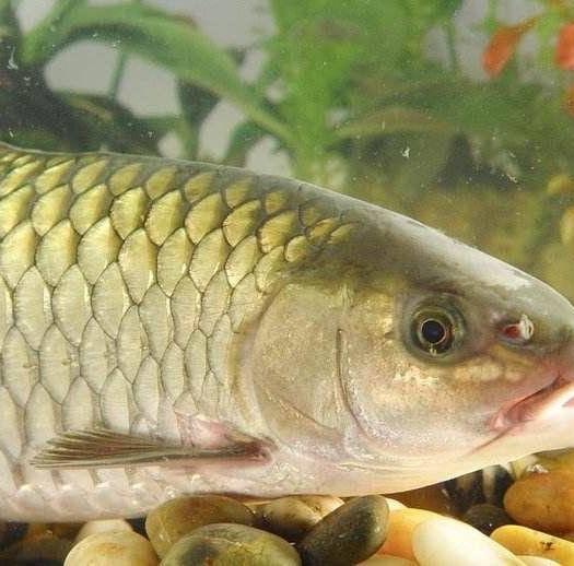 江陵县 3-5斤草鱼出售