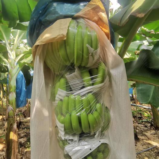 儋州市 海南香蕉部分上市需要的联系,可代办代收