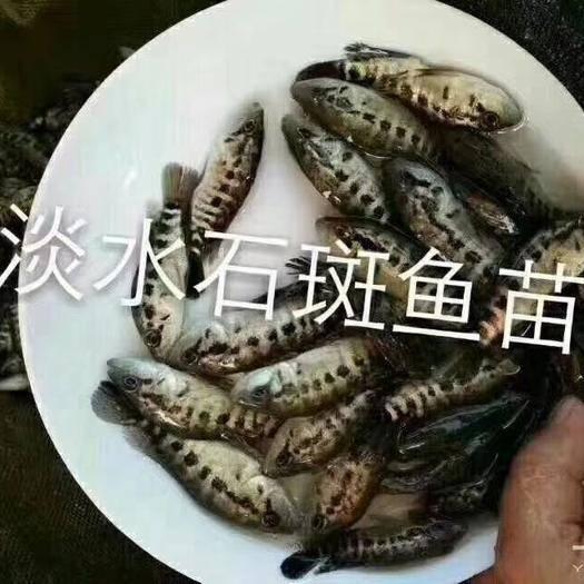 衡阳淡水石斑鱼苗 统货