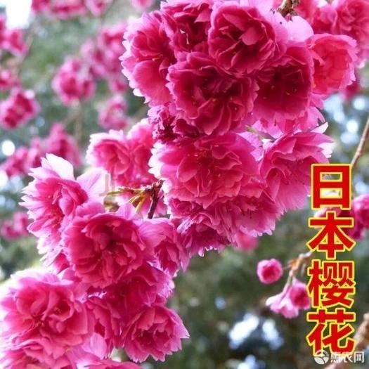 泰安 日本櫻花苗南北方種植櫻花樹苗盆栽花卉植物工程庭院綠化苗風景樹