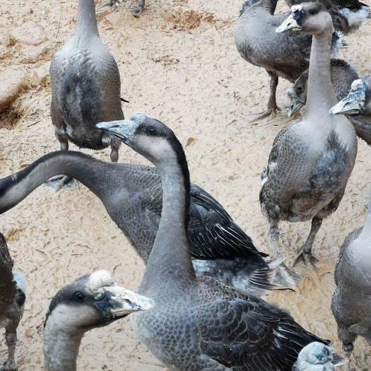 英德市肉鹅 8-10斤 统货 全散养