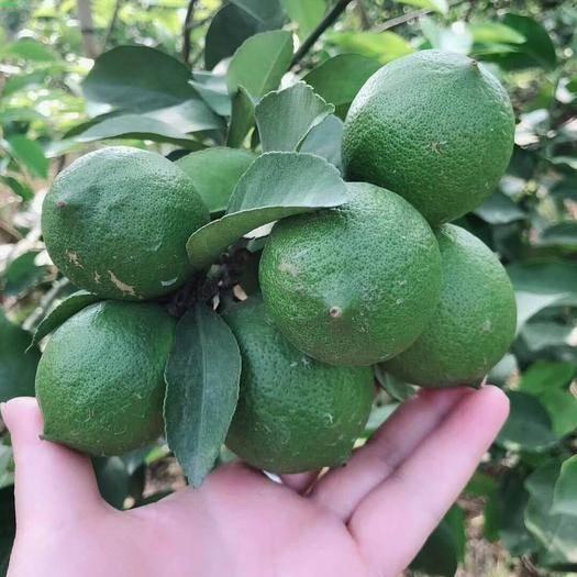 灵山县香水柠檬苗 三个月结果,果肉香浓,根系发达,容易种植