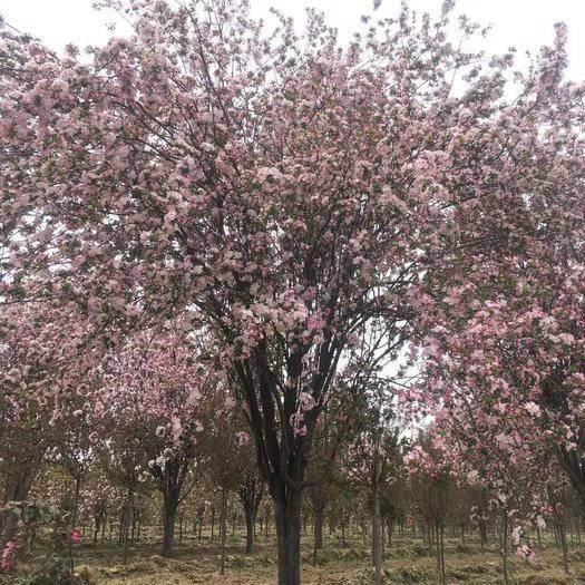 沭陽縣 日本櫻花