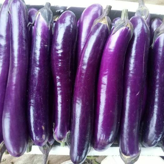 徐闻县紫长茄 长茄
