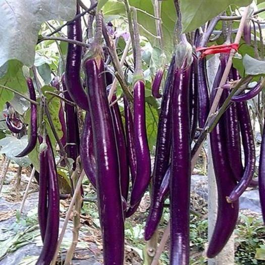沙洋县 紫长茄