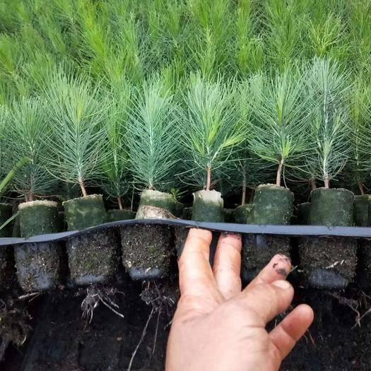 灵山县湿地松树苗 湿地松树营养杯苗