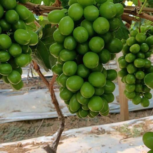 建水县 阳光玫瑰青提新鲜水果当季水果晴王提子葡萄一件代发