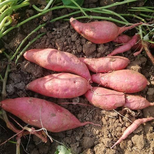 永城市 紅薯地瓜蜜薯紫薯