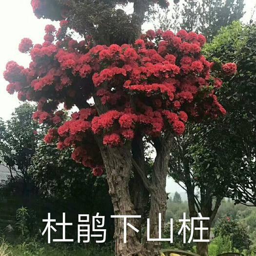 漳平市 山櫻花