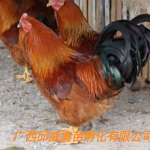 南寧 雞苗  靈山土雞