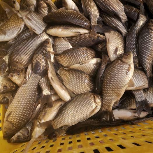 重庆 鲫鱼鲫鱼高品质垂钓鱼