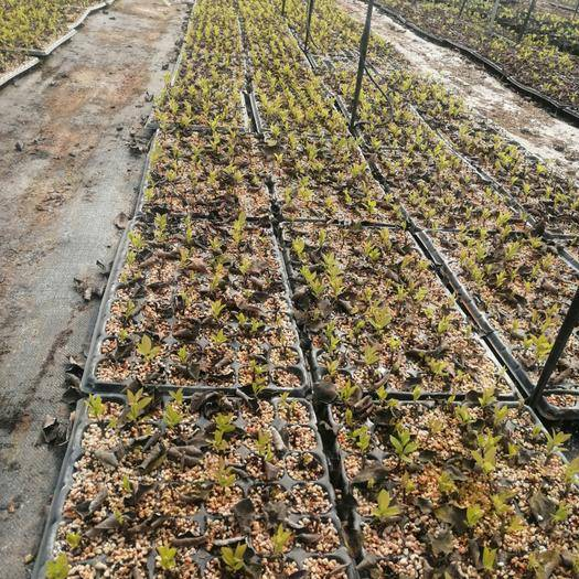 泰安 北美冬青種植繁育基地