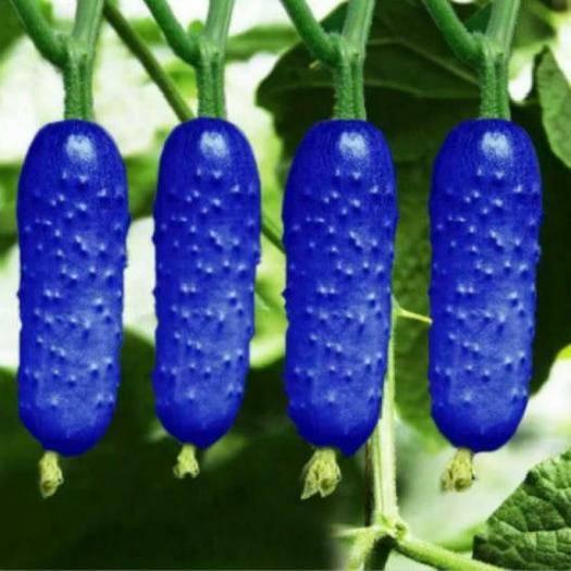 南京 四季播种混彩水果黄瓜种子高营养农家田园蔬菜水果新型黄瓜种子