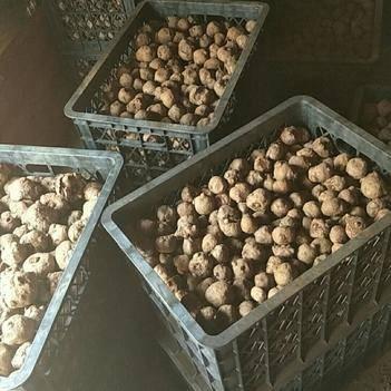 魔芋种 核桃大的花魔芋精种子