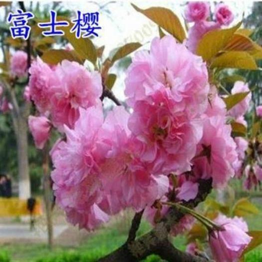 南京 正宗日本櫻花樹苗櫻花小苗南北方庭院地栽盆栽花樹園林植物風景樹
