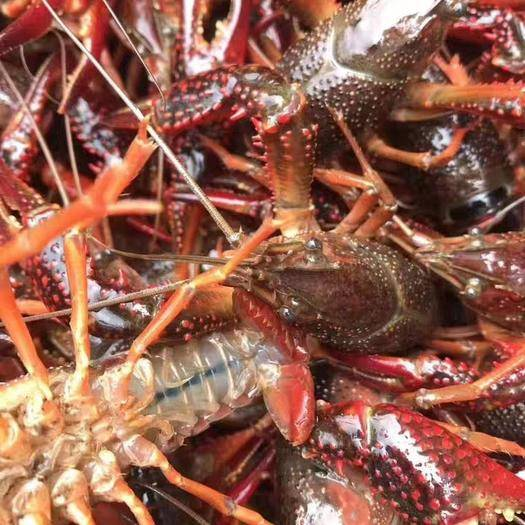 长沙 大量小龙虾全国批发