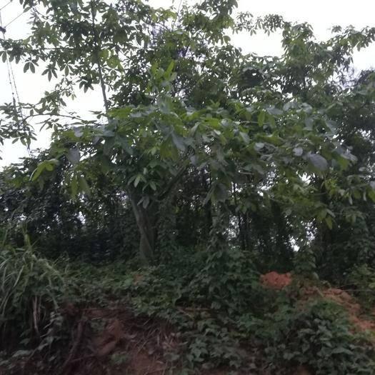 廉江市 多年的發財樹出售