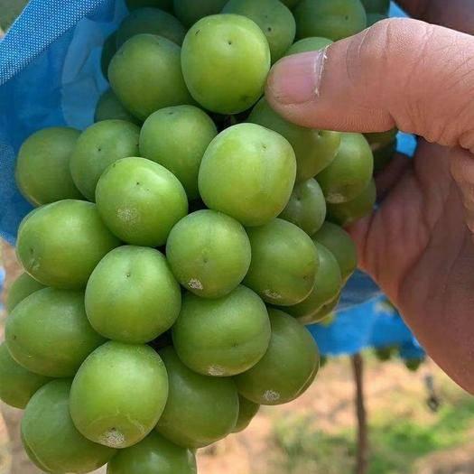建水县阳光玫瑰 1-1.5斤 5%以下 1次果