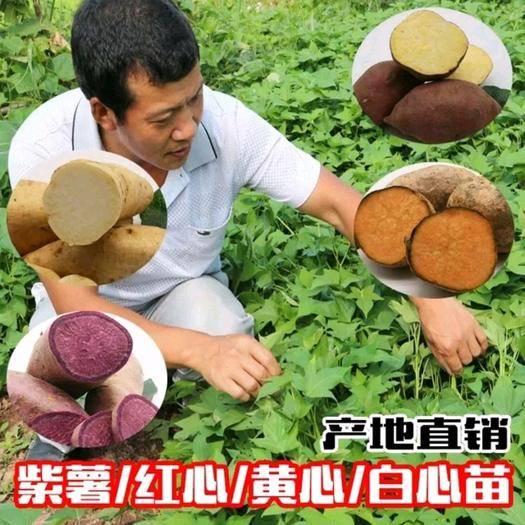 重庆 紫薯苗,番薯苗,地瓜苗,红薯苗,烟薯一苗