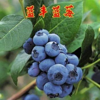 蓝丰蓝莓苗 抗裂果 耐干旱 连年丰产 口感良好 基地直销 免费提供种植技