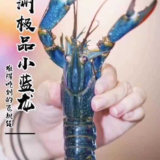 海口 澳洲淡水龙虾1.5两以上 澳洲小龙虾,基地直供全国空运