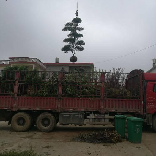 潢川县造型女贞树