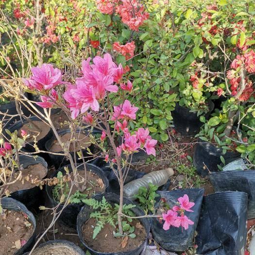平邑縣 映山紅盆栽,觀賞性好,花期長,可盆栽地栽,紅色,粉色