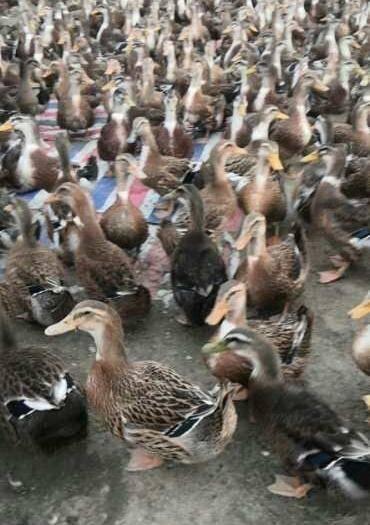 邵陽縣 68天全放券麻鴨,數量不多1800。