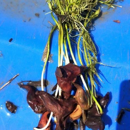 沭陽縣菱角種苗 菱角苗