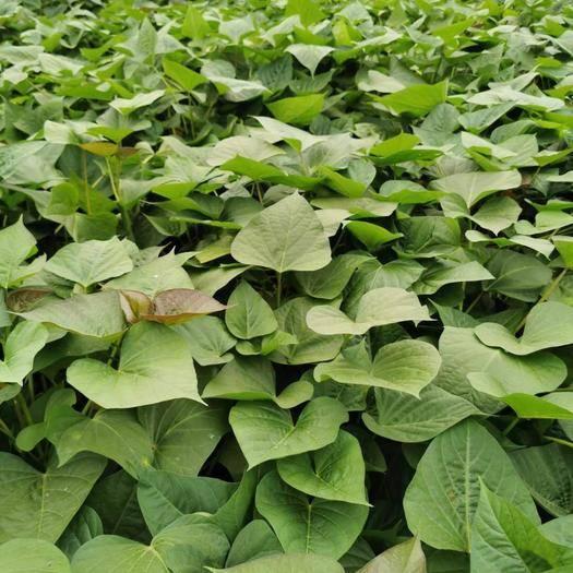 遂溪縣 〖新鮮上市〗番薯葉,紅薯葉,苕尖