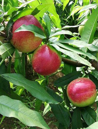 大荔縣水果黃瓜 價位美麗,質量硬
