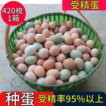 全国批发江汉土鸡种蛋受精蛋自然受精率高达到95%以上