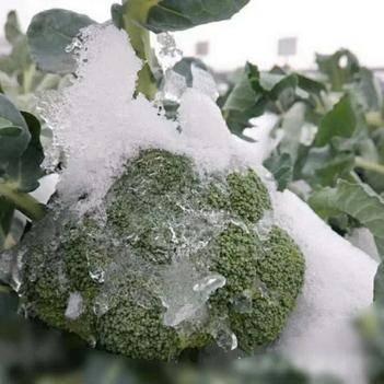 耐寒优秀西兰花种子 寒秀西兰花:无需覆盖自然越冬-15°不紫,二月底三月初上市