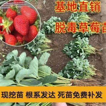 美十三草莓苗 优质苗品种齐全 现挖苗 根系发达  成活率高