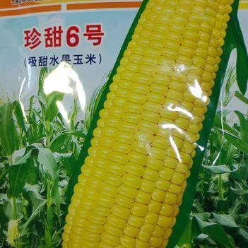 珍甜6号水果玉米种子 甜玉米种子抗病高产好吃好卖基地首选