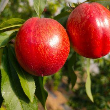 预售!《曙光油桃》虞城精品油桃,一手货源。产区直供!火爆热