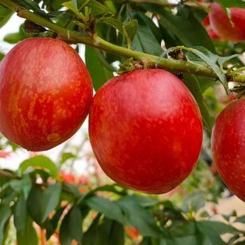 预售, 48油桃,口感脆甜,着色鲜艳,产区直供!火爆热销!