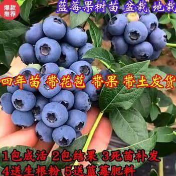 蓝莓苗,兔眼蓝莓苗,薄雾、矮丛、南高丛,当年结果、基地直销