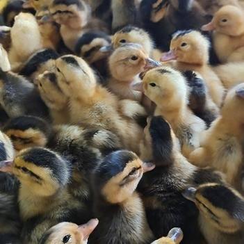 鸭苗大种杂交鸭青头鸭成年六七斤 包打疫苗