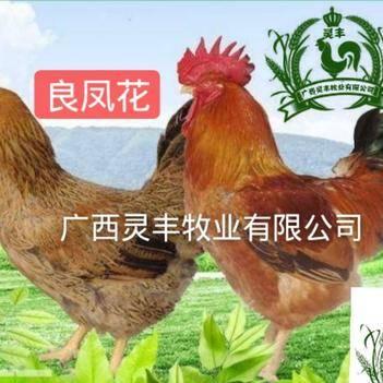 快大型良凤花肉鸡苗热卖【广西灵丰公司总店】厂家直销