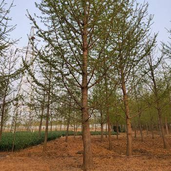15-35-40公分银杏树苗圃出售